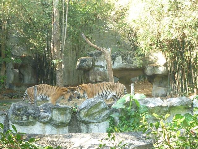 ...cheeky Tigers.