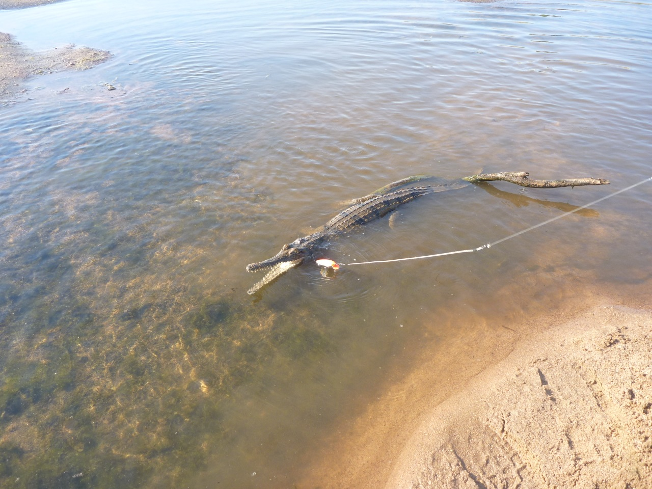 Catching a crocodile with a fishing line