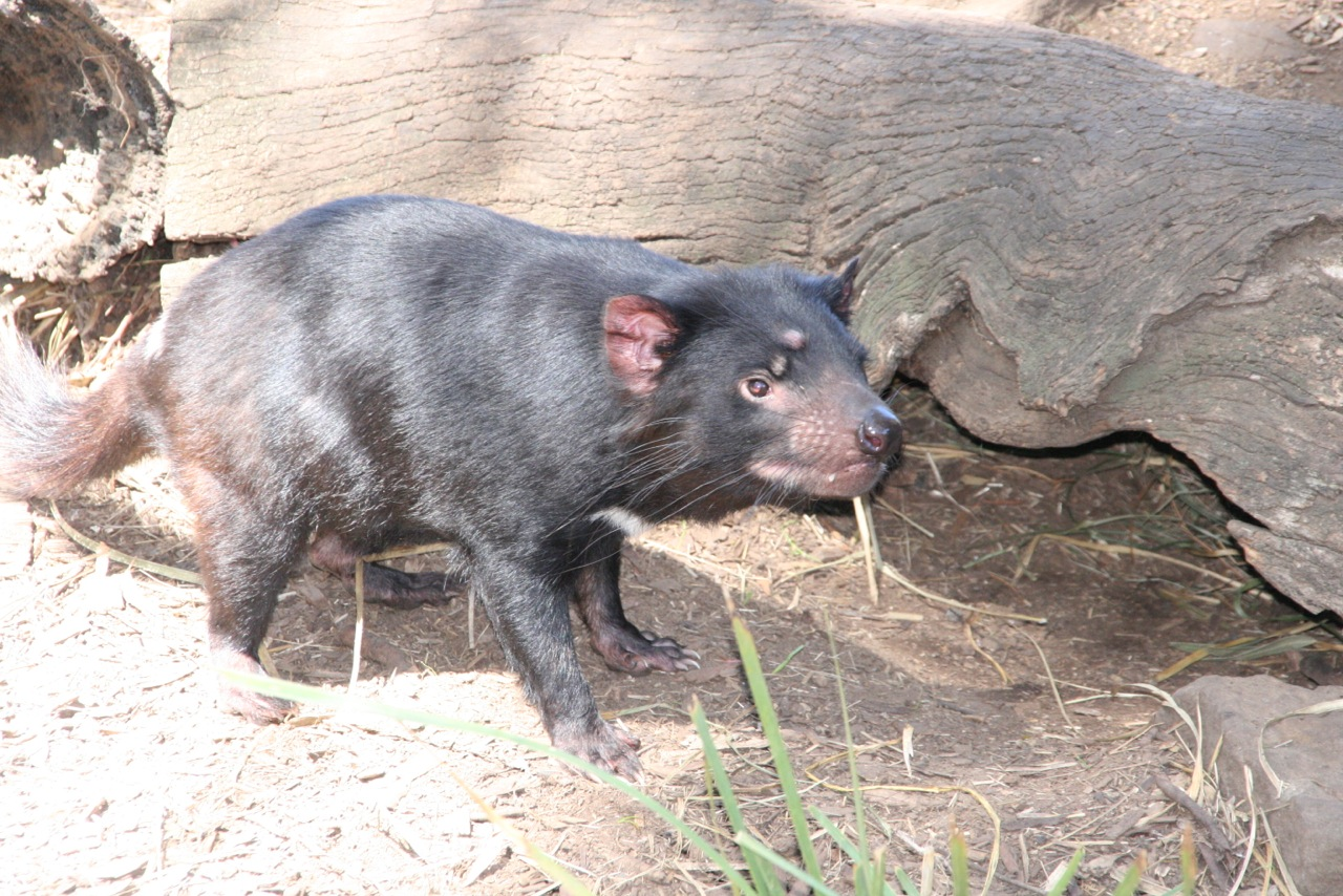 Tasmanian Devil at Bonorong Wildlife Sanctuary