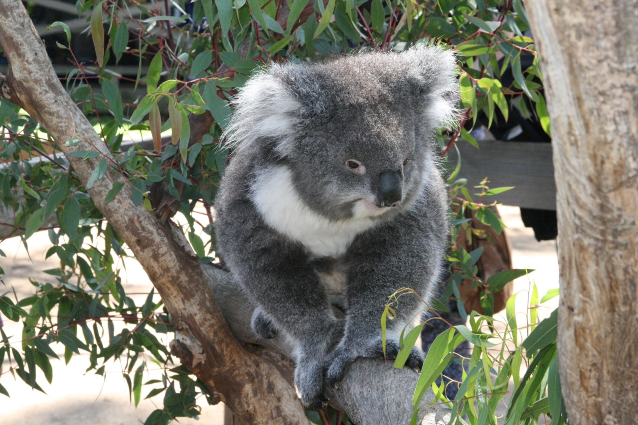 This Koala was beautiful.