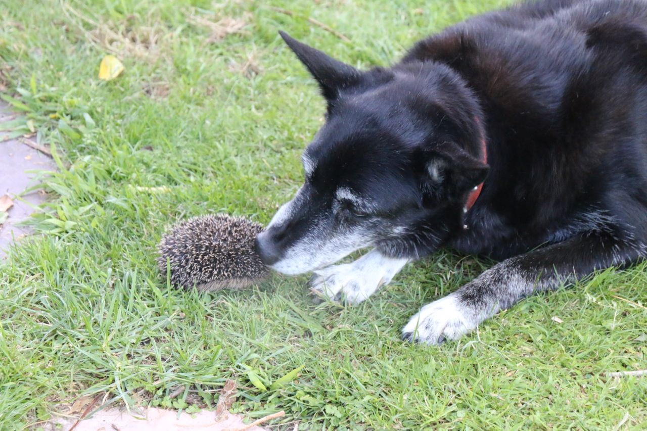 Dog playing with a English Hedgehog in New Zealand